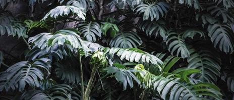 Philodendron im tropischen Blätterhintergrund des Gartens foto