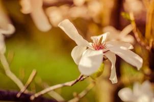 Nahaufnahme der weißen Magnolienblume natürlichen Blumenfrühling foto