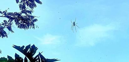 männliche Spinne, die am Netz hängt foto