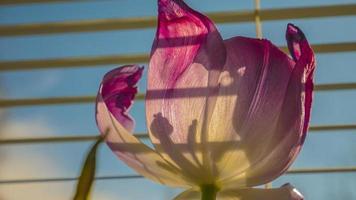 lila Tulpe am Fenster foto