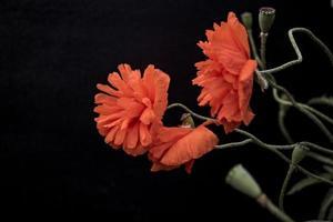 scharlachrote Mohnblumen auf einer schwarzen Hintergrundtapete foto