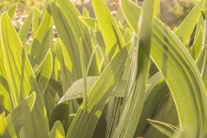 Hintergrund der grünen Blätter von Blumen foto