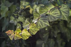 lockiger Efeu im Frühling Frühlingshintergrund foto