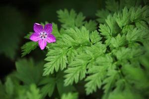 kleine lila Sternblume mit Farnblättern foto