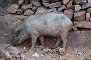Schwein im Hanuman-Tempel in Jaipur, Rajasthan, Indien foto