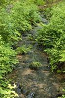 Bach fließt zwischen Farnen und Schilf durch einen Wald foto
