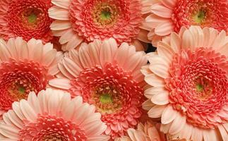 große rosa blüten foto