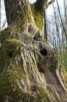 ein alter dicker moosbedeckter Baum mit einem hohlen Loch in der Sonne foto