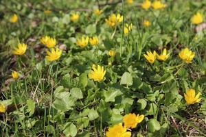 grünes Gras übersät mit gelben Blüten foto