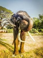 Erwachsener Elefant mit Elfenbeinstoßzähnen in Ayutthaya, thailand foto