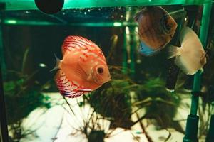 exotischer Fisch Symphysodon Diskus, in einem Aquarium foto