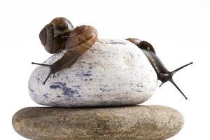 Weinrebe Schnecke auf Stapel von Spa-Steinen vor weißem Hintergrund foto
