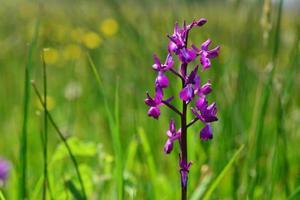 Jersey Orchidee Jersey Großbritannien Makrobild von Sumpffrühlingsblumen foto
