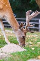 wilde hirsche natürlicher lebensraum familienfreundlicher wildpark foto