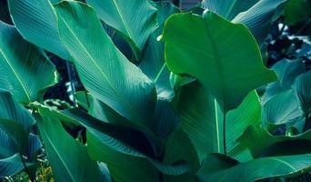 Blätter Calathea ornata Nadelstreifen Hintergrund blau foto