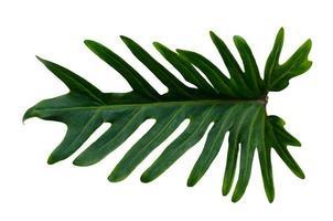 Monstera Blätter Blätter mit Isolat auf weißem Hintergrund Blätter auf Weiß foto