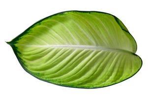 Blätter Calathea Ornata Nadelstreifen Hintergrund weiß isolieren foto