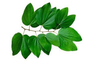 Chongkho-Blätter isolieren Blumenstrauß schmücken das Design foto