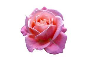 rosa rosen isolieren hellweißen hintergrund valentinstag foto