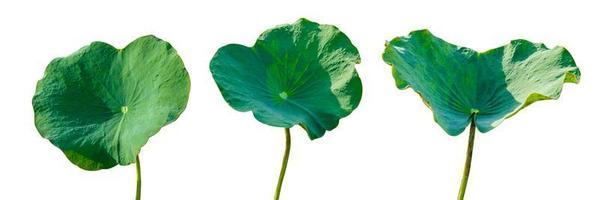 Lotusblatt isolieren 3 Sammlung von weißem Hintergrund foto