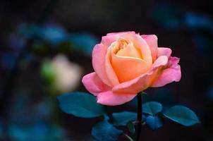 orange gelbe Rosen blauer Hintergrund foto