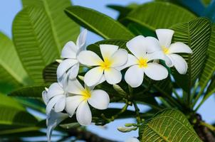 Frangipani Blumen Blumenstrauß weißer Hintergrund mit grünen Blättern foto