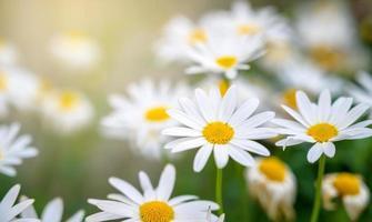 der gelb-orange Schmetterling ist auf den weiß-rosa Blüten in den grünen Grasfeldern foto