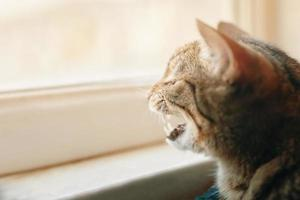 Tabby Pussycat gähnt. foto