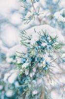 Kiefernzweige und Beeren im Schnee. foto