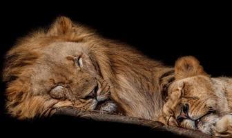 Schlafende Löwen im Zoo in foto