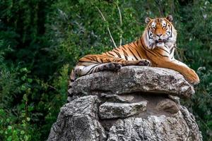 Porträt des Tigers foto