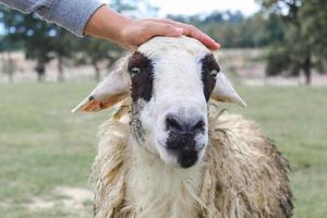 Hand der Bauern, die auf dem grünen Feld den Schafskopf berühren Tier schönes Konzept. foto