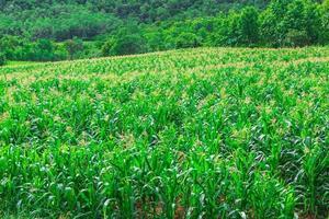 grünes Maisfeld im landwirtschaftlichen Garten foto