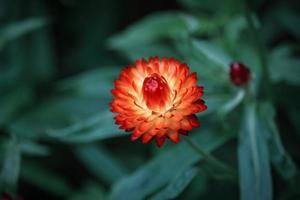 orangefarbene Strohblume, die auf unscharfem belaubtem Hintergrund aufschaut foto