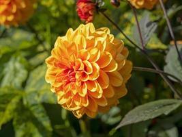 schöne orangefarbene doppelte Dahlienblume in einem Garten foto