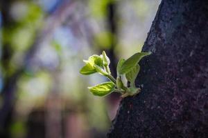 junger grüner Zweig wächst auf Baumstamm foto