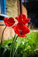 Drei rote Tulpen blühen im Sonnenlicht in der Nähe des alten Holzhauses foto
