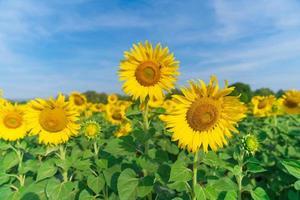 blühende Sonnenblumen auf natürlichem Hintergrund foto