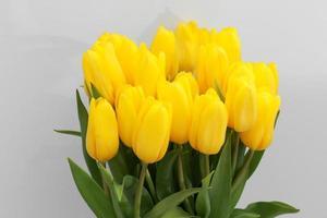 gelbe Tulpenblüten isoliert auf weißem Hintergrund, für Ihr kreatives Design und Dekoration foto