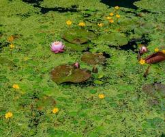 Seerosen und andere schwimmende Vegetation in einem Teich. foto