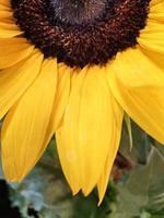 Sonnenblumennahaufnahme auf der Bundesgartenschau 2019, Heilbronn, Deutschland, foto