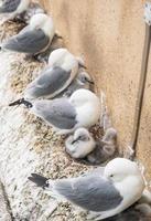 Möwen und ihre Küken nisten auf einer Gebäudekante foto
