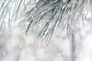 Nahaufnahme einer Kiefer mit Raureif, während es schneit foto