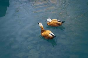 zwei schöne Enten schwimmen im See foto