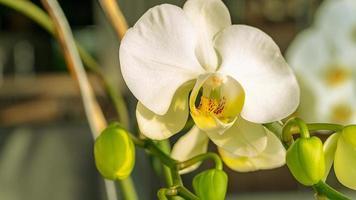 Weiß einer Phalaenopsis-Orchidee, Mondorchidee oder Mottenorchidee mit mehreren Knospen an einem Zweig foto
