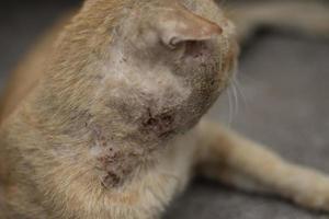 eine obdachlose Katze hat eine Wunde am Hals. foto