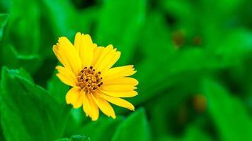 frische Gänseblümchenblume, die im Gartenbeschaffenheitshintergrund wächst foto