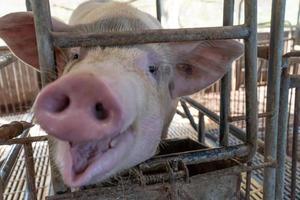 Nahaufnahme von Zuchtschweinen in einem Käfig auf dem Bauernhof selektiver Fokus weicher Fokus foto