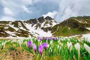 Krokusblüten auf den Alpen, wo sich der Schnee zurückzieht foto
