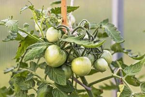 Grüne unreife Tomaten hängen an einem Buschzweig in einem Gewächshaus. Ernte- und Gartenkonzept foto
